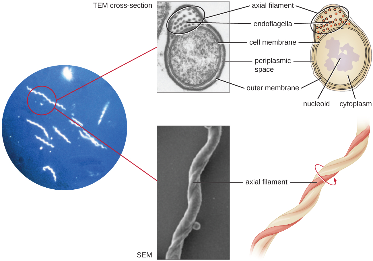 Skin Cell Lyme Bacteria